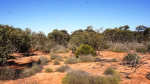 Mallee Vegetation